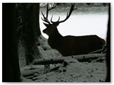 Edelhert | Red deer | Cervus elaphus