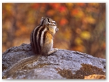Kleine chipmunk | Least chipmunk | Tamias minimus