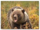 Grizzly beer | Grizzly bear | Ursus arctos horribilis